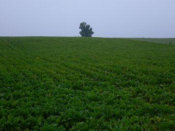 ベベルイの木