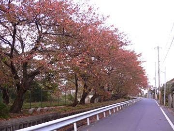 相模川の紅葉並木