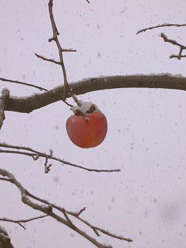 柿の実の写真