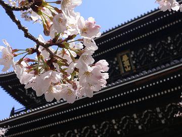 知恩院の染井吉野(1)
