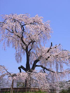 円山公園の枝垂櫻(1)