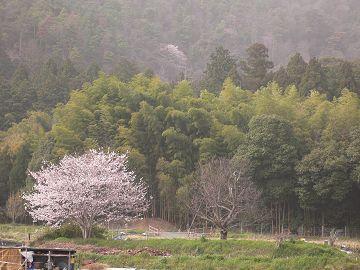 嵯峨野の櫻(1)
