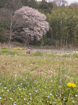 嵯峨野の櫻(2)