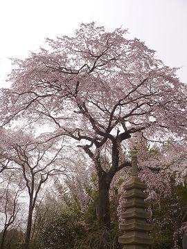 植藤造園の枝垂櫻