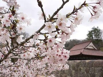 閑谷学校の染井吉野