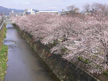 天神川の染井吉野(1)