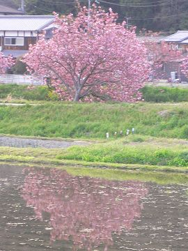 宇治田原町の八重櫻