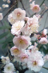 梅の花@近所