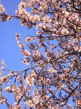 東福寺の桃桜