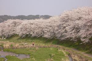 田原川の染井吉野
