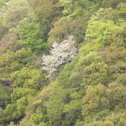 天ヶ瀬ダムの櫻