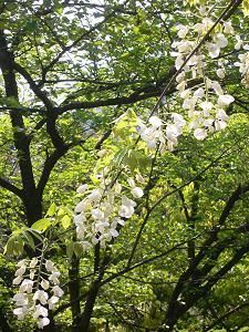 藤の花@近所の公園