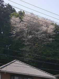 上野公園の櫻