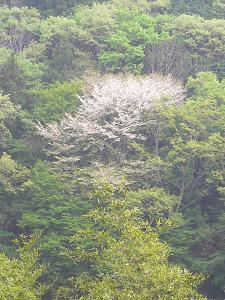 大津の山櫻