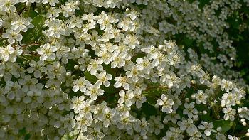 初夏の花@近所