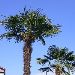 棕櫚@近所