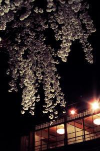 祇園・白川の夜櫻