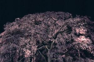 円山公園の枝垂櫻