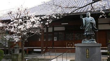 墨染寺の染井吉野