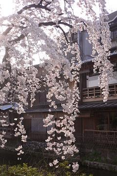 祇園白川の枝垂櫻