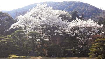 伊勢神宮内宮の櫻