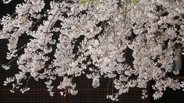 縣神社の木の花ざくら