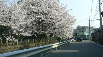 相模川の染井吉野