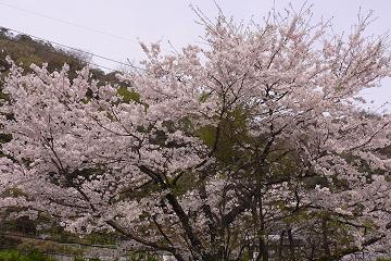 逢坂山の染井吉野