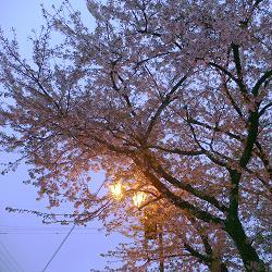錦駅付近の染井吉野