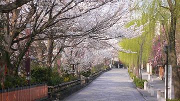 祇園白川の櫻並木