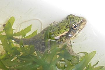 ほぼ蛙の画像