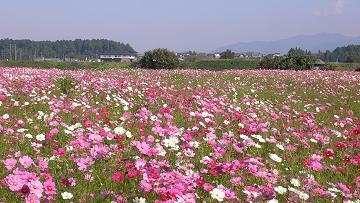 秋桜@東近江市妹の画像