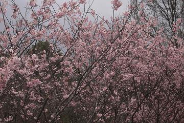 皇子山公園の初御代櫻の画像