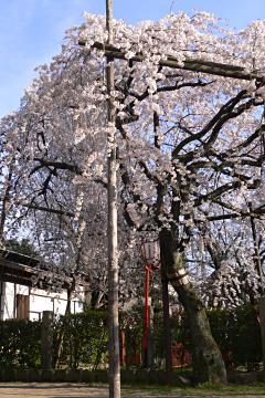 長建寺の糸桜の写真