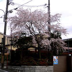 伏見医師会館の枝垂櫻の写真