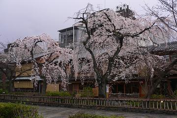 祇園白川の櫻の写真