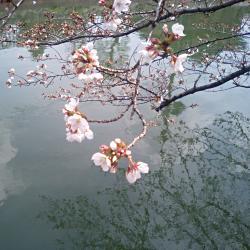 琵琶湖疏水の染井吉野の写真