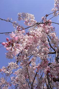 近所の枝垂櫻の写真