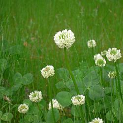白詰草の写真