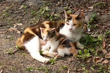 膳所神社の三毛猫の写真