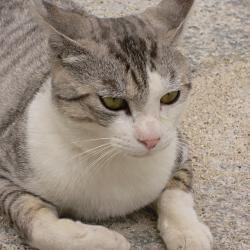 藤森神社の猫の写真