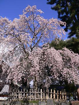 縣神社の木の花ざくらの写真