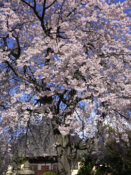 瑞光寺の枝垂櫻の写真