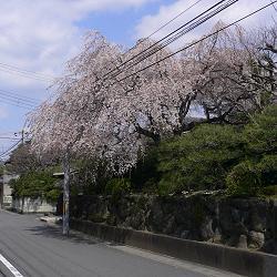 或る民家の枝垂れの写真