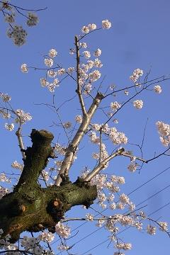 近所の染井吉野の写真