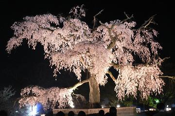 円山公園の枝垂桜の写真