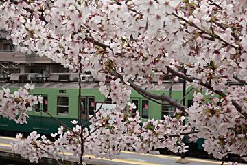 桜と京阪電車との写真
