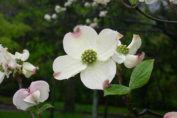 花水木の写真