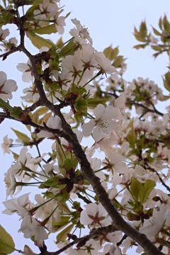 名残りの桜の写真