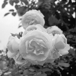 枚方公園の薔薇(6×6)の写真